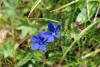 Nice blue flowers in the grass - Gentian