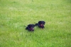 Two likely female dachshunds in the grass  - Dachshund sisters