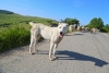 Sheepdog and goats on the street - Sheepdog