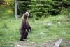 A young brown bear standing on its rear paws - Bear cub