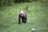 A bear cub walks in the grass   - Bear cub in the grass