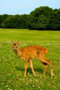 A lonely fawn on a meadow - A fawn on the meadow