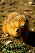 Closeup of a gopher on the ground - Gopher