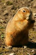 A gopher is standing and eating - Eating gopher