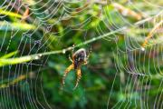 Spider in its web waiting for the prey. - Spider in its web