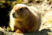 A gopher is watching his food - Little gopher