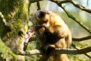 A monkey sitting on a tree eating a locust - Monkey eating a locust