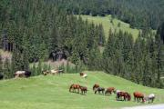 A herd of horses is grazing on the pasture with pine trees around. - Horses on the pasture