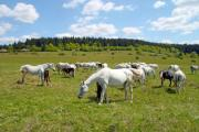 White and brown horses graze on the pasture - A herd on the pasture