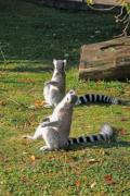 Lemurs enjoying the autumn sun in the zoo. - Sunbathing ring-tailed lemurs