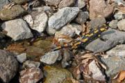 A fire salamander (Salamandra salamandra) is climbing out of the water - Salamander