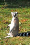 A ring-tailed lemur is enjoying the autumn sun. - Do not disturb my morning rest