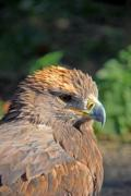 A Steppe Eagle (Aquila nipalensis) enjoying the autumn sun. - Steppe Eagle