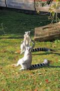 Lemurs enjoying the autumn sun in the zoo. - Ring-tailed lemurs at rest