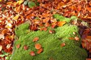 Red leaves cover the ground and some moss. - Autumn leaves with moss