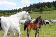 A brown horse among white ones on the pasture - Little horse on the pasture