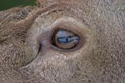 The eye of the fawn with reflection of the photographer - Eye of the fawn