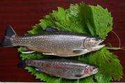 Two brown trouts on a table with leaf. - Trouts on the table