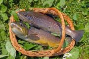 Two trouts in a basket - Trouts