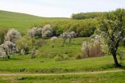 Blossoming trees in the Transylvanian alps - Spring in the alps