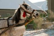 A white carthorse during work in winter - A white carthorse