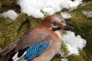 Close-up of an Eurasian Jay (Garrulus glandarius) on a pine tree in winter - Eurasian Jay