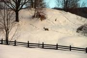 A lonely young deer in the snow - A deer in the snow