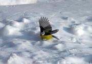 A Great Tit is bathing in the snow - A Great Tit taking a snowbath