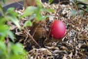 A single red Easter egg hiding under an indoor plant - A single red Easter egg