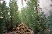 Arborvitae seedlings side by side in a garden - Arborvitae seedlings