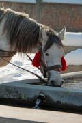 A white horse is drinking at a trough - A drinking white horse