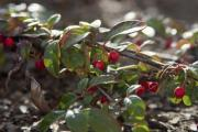 Red berries on a bush in a garden - Berries on a bush