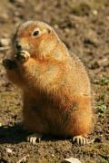 A ground squirrel standing and eating his food - European ground squirrel