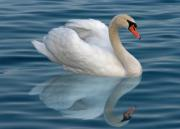 A lonely mute swan with reflection on the water - Single white swan