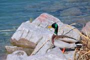 A drake mallard standing on the lakeshore - A mallard on the shore