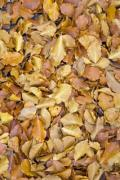 Yellow autumn leaves on the ground - Dead fallen leaves