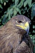 Closeup of a golden eagle (Aquila chrysaetos) with a leafy background - Golden eagle