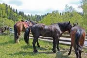 Brown horses with a beautiful pine forest background - Horses in a pen