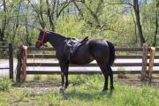 A single dark brown horse in the pen - Dark brown horse