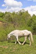 A single white horse on the meadow - White horse
