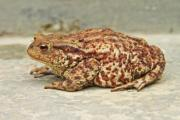 Close-up of a big, rust-brown frog on the ground - Rust-colored toad