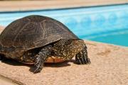 A big green turtle posing next to a swimming pool - Aquatic turtle