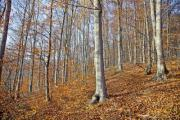 A wood on a sunny autumn day - Beech forest