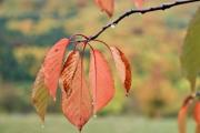 Closeup of some colorful leaves on a tree - Colorful autumn leaves