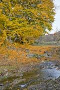 Closeup of a little creek in autumn - Autumn creek and a veteran tree