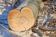 Low angle shot of a trunk in winter - Heart-shaped trunk