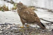 Closeup of a harrier (Circus aeruginosus) on the shore - Western marsh harrier