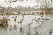 Great egrets (Ardea alba) in a lake - Great egrets