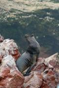 Dominant male sea lion in Peru. - Dominant sea lion