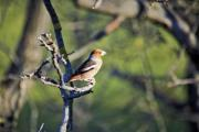 Hawfinch (Coccothraustes coccothraustes) on the nut tree - Hawfinch